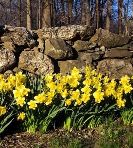 M Life Daffodils